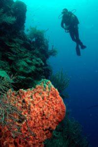 scuba diver swimming near coral